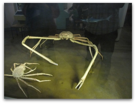 japanese-giant-crab