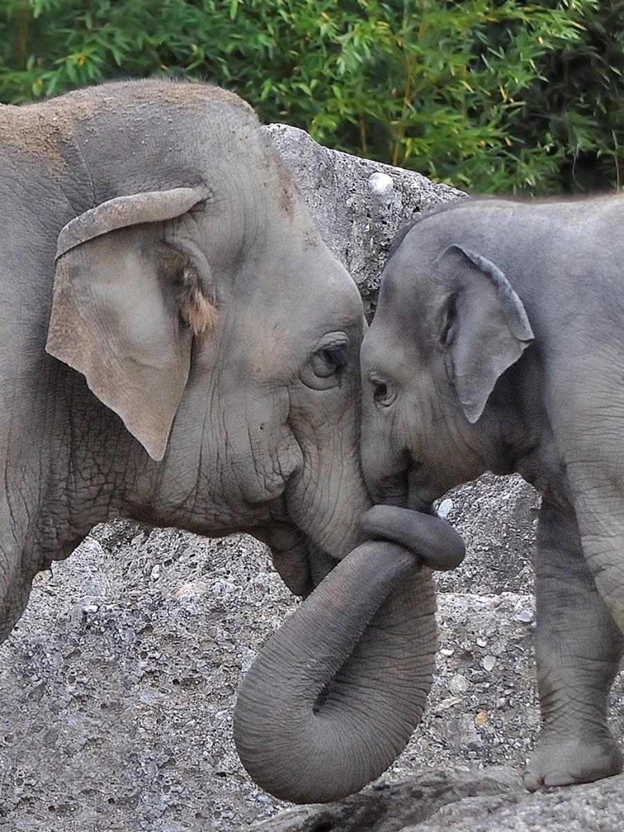 munich-zoo-elephants-hug