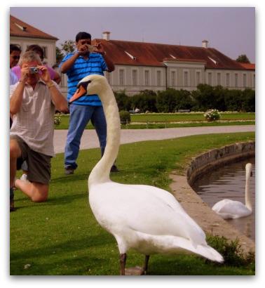 schloss-nymphenburg-swans