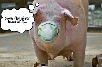 swine-flu-munich-pig