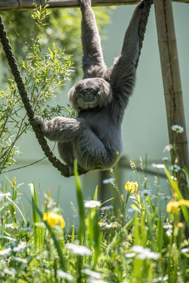 tierpark-hellabrunn-gibbon