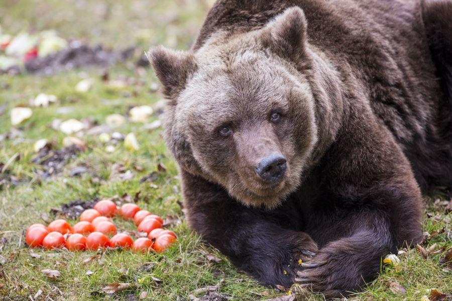 brown-bear-munich-zoo