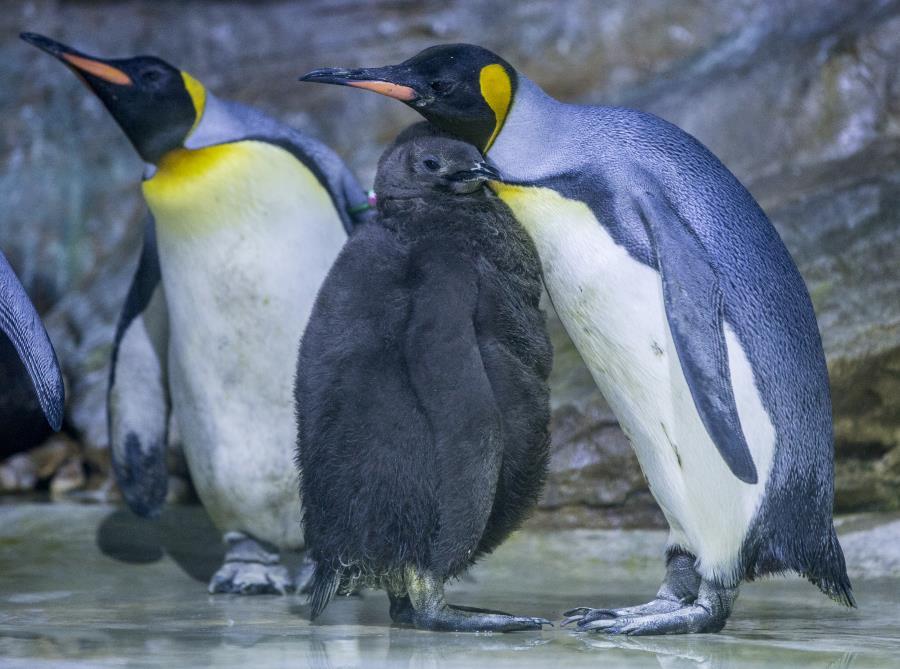 king-penguin-munich-zoo