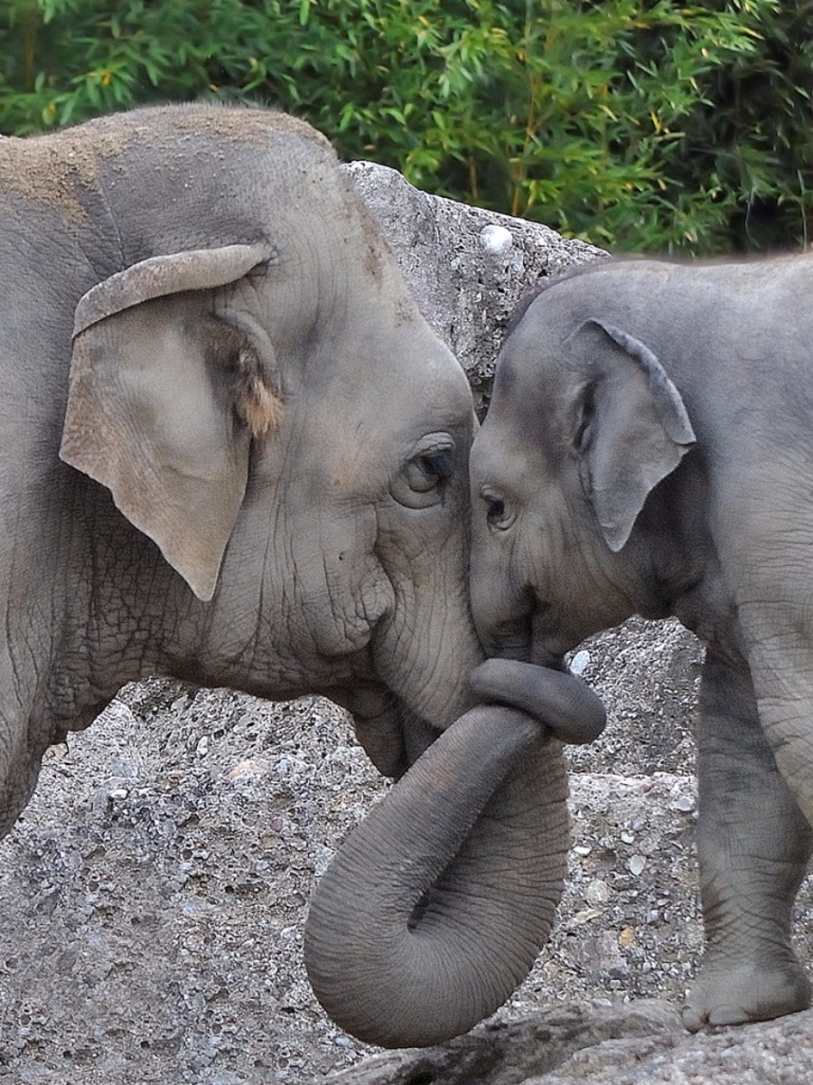 munich-zoo-elephants-hug