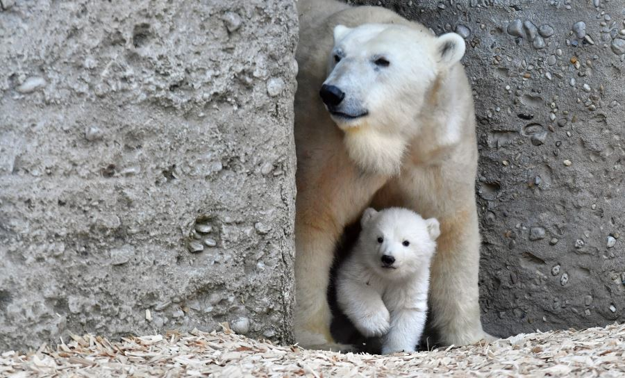 polar-bears-munich