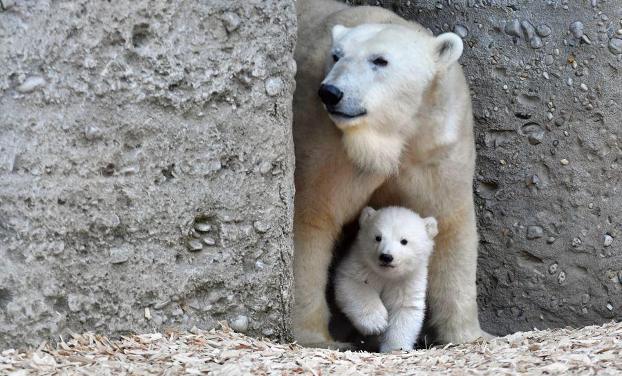 polar-bears-munich